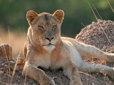 Lions and luxury on South Africa's Eastern Cape